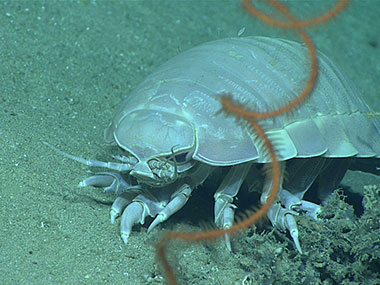 A giant deep-sea isopod, Bathynomus giganteus, with an antipatharian whip coral.