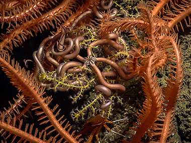 An asteroschematid snake star coiled among the branches of a small plexaurid octocoral, and surrounded by the spiny arms of large Novodinia brisingid sea stars on a craggy carbonate pinnacle discovered during Dive 13 at Tunica Mound at a depth of 401 meters (1,315 feet).