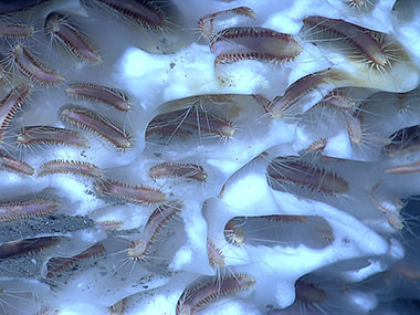 An aggregation of ice worms inhabiting methane hydrate. These worms eat chemoautotrophic bacteria using chemicals in the hydrate.