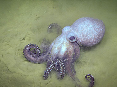 A Muusoctopus johnsonianus octopus was observed burying into the sediment near the survey area.
