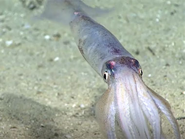 On a more shallow Dive 15, several squid (<em>Illex</em> sp.) were observed. Most were seen on the sediment, but others &ndash; like this individual observed at ~455 meters (~1,490 feet) &ndash; lifted off the bottom and was seen swimming. It was quite mesmerising to watch.