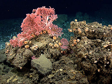 These corals, including cup corals and bubblegum corals, were found on hard substrate near the edge of a mussel bed while exploring a gas seep area near the northeast submarine canyons.