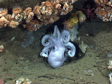 An octopus guards her eggs under an overhang in Hydrographer Canyon.