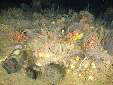 A dense community of black corals, octocorals, and crinoids at 122 meters (400 feet) depth on Elvers Bank in the northwestern Gulf of Mexico.