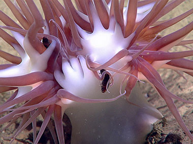 This unidentified anemone was seen for the first time during the Windows to the Deep 2018 expedition during the final dive, Dive 17, at around 1,878 meters (6,161 feet) depth.