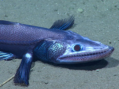 This deep-sea lizardfish, bathysaurus, was imaged around 1,771 meters (5,810 feet) depth during the final dive of the Windows to the Deep 2018 expedition.
