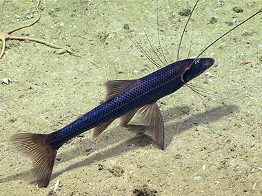 A tripod fish seen at 1,707 meters (5,600 feet) during Dive 01 at Blake Escarpment North.