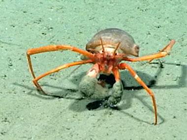 Here comes a deepwater hermit crab (family Parapaguridae).