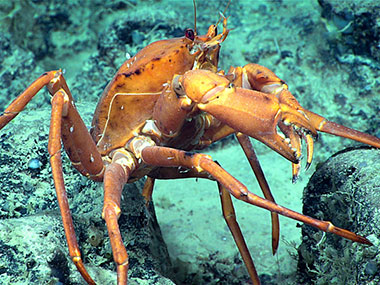 A golden crab, a commercially important species in this region, was seen around 1,247 meters (4,091 feet) during Dive 04.