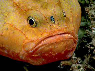Several individuals of anglerfish, Chaunax coloratus, were observed in the coral rubble habitat.