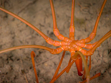 This large pycnogonid or sea spider was imaged at 1,122 meters (about 3,681 feet) during Dive 12 of the Windows to the Deep 2018 expedition.