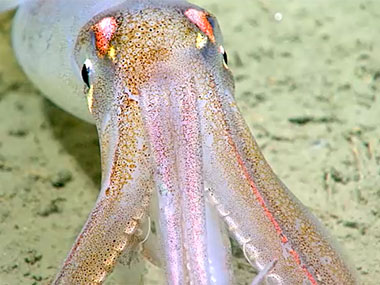 This squid, imaged during exploration of an intercanyon ridge offshore North Carolina, can be seen changing color.
