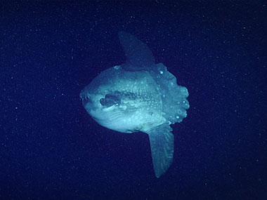 This <em>Mola mola</em>, or ocean sunfish, was imaged for the first time during this Windows to the Deep 2018 expedition during Dive 13 at a depth of around 336 meters (1,102 feet).