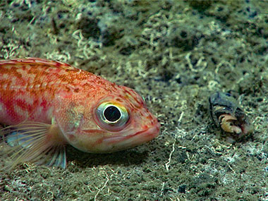 A blackbelly rosefish laying next to a fish head, prior to eating it.