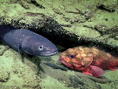 Two fish, a conger eel, and a scorpion fish inhabit an overhang encrusted with small anemones.