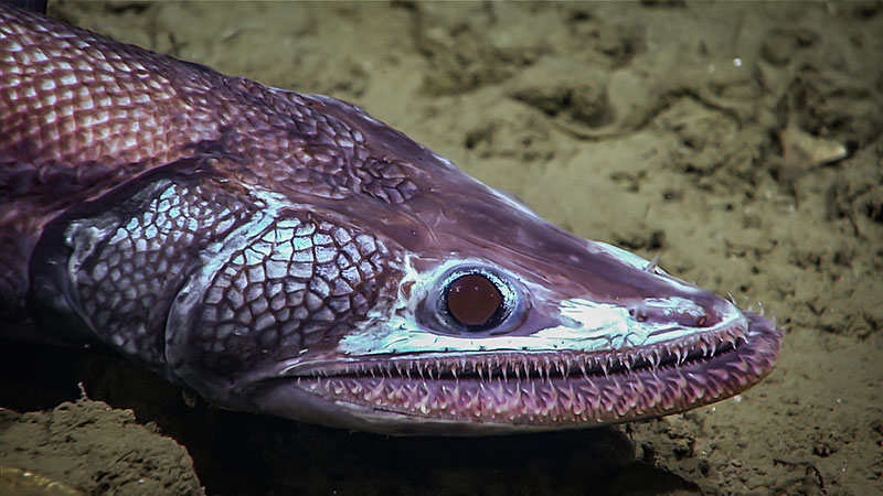 This deep-sea lizardfish was seen around 1,610 meters (5,282 feet) depth during the final dive of the Windows to the Deep 2019 expedition.