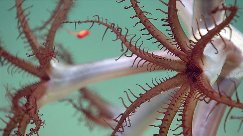 A sea pen (Pennatulacea) with a small shrimp (Mysida) visible in the background.