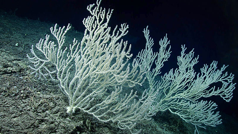 Many of these large bamboo corals were found on the escarpment during the third dive of the Windows to the Deep 2019 expedition. Corals this large and old indicate a stable surface/substrate and good habitat conditions.