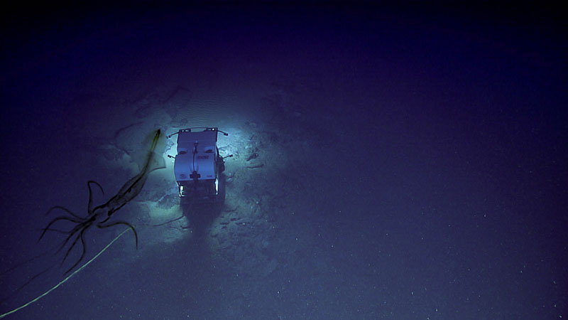 A deep-sea squid was imaged by Seirios as it watches remotely operated vehicle Deep Discoverer climb the face of the scarp feature during Dive 08 of Windows to the Deep 2019.