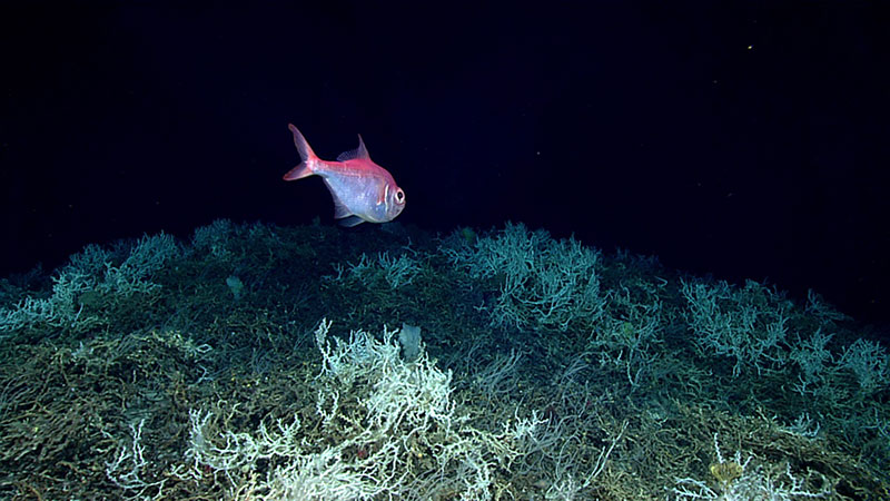 Alfonsino fish (commercially important species) swimming over a field of Lophelia pertusa.