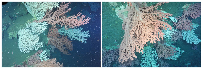 Beautiful coral gardens, dominated by the bubblegum coral Paragorgia arborea, were observed in Heezen Canyon (left) in U.S waters and Corsair Canyon on the Canadian side of the border. Large aggregations, especially of such large-sized ( > 1 m) colonies, of bubblegum coral in both canyons were amazing findings of this earlier (2014) expedition. Observations such as these contribute to our understanding of distributions and abundances of species, as well as providing clues to the level of population connectivity of organisms among canyons.