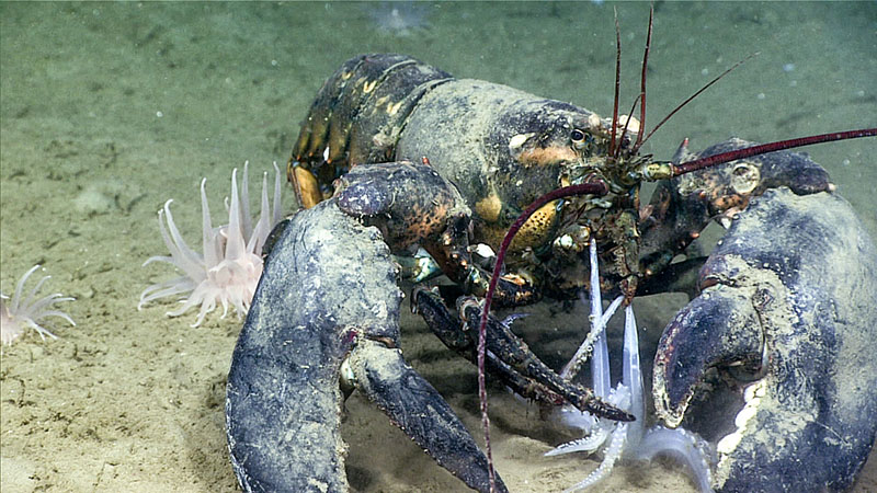 A lobster bites down on squid tentacles during the third dive of Deep Connections 2019 expedition on August 31, 2019.