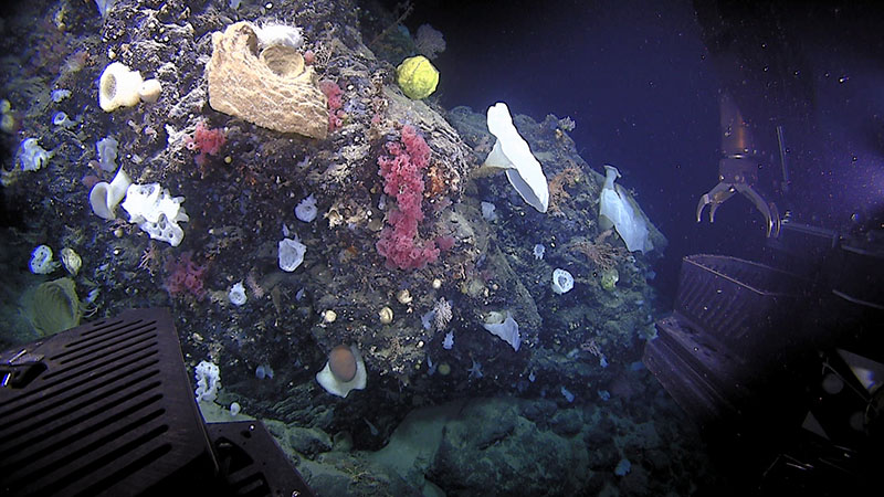 A large diversity of corals and sponges were seen on dive 9 of the Deep Connections 2019 expedition on Retriever Canyon.
