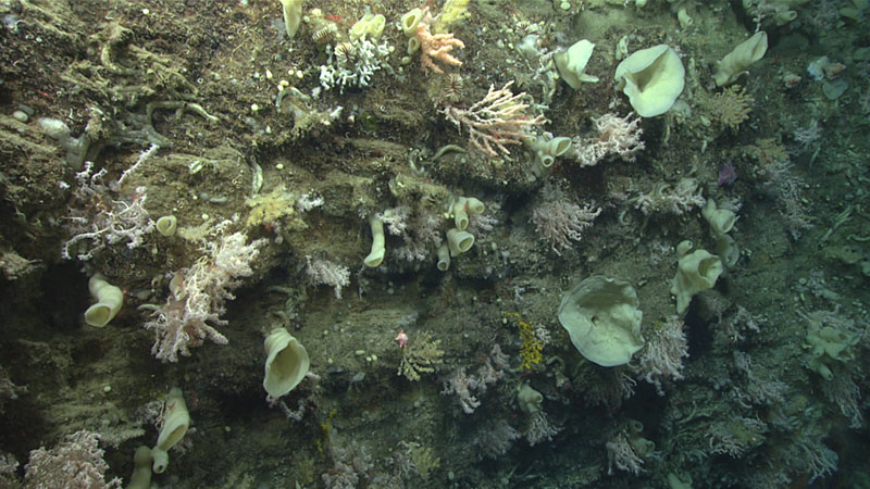 Dense deep-sea coral and sponge community observed on a sheer wall during dive 5 of Deep Connections 2019 expedition.