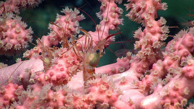 Striped shrimp seen on a bubblegum coral during dive 5 of Deep Connections 2019 expedition.