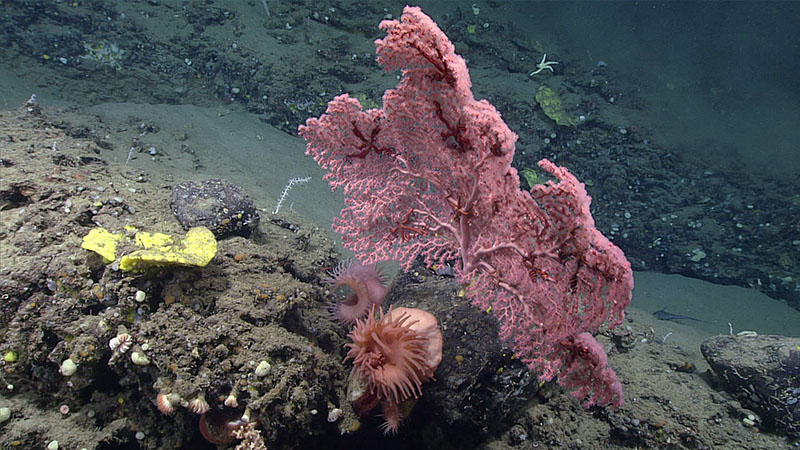 Large bubblegum coral (Paragorgia sp.) with a number of snakestar (Euryalida) associates in its branches, seen during dive 6 of Deep Connections 2019 expedition.