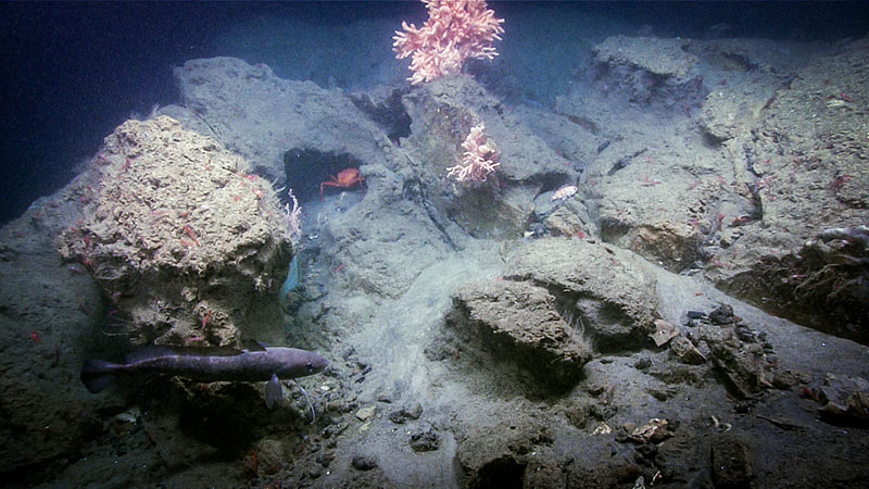 Considerable turbidity was present throughout the dive 7 of the Deep Connections 2019 expedition dive on Oceanographer Canyon. Some corals and sponges were observed on the most prominent features, like these primnoid corals.
