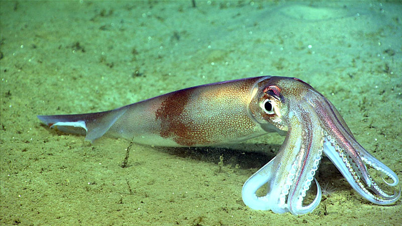A Northern shortfin squid with a large bite out of one of its fins, sitting on the seafloor. Several squid with such bite marks were observed during dive 3 of the Deep Connections 2019 expedition.