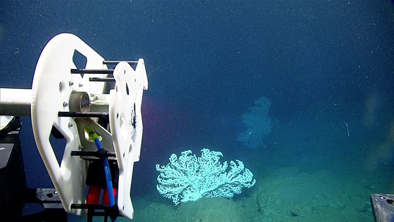 ROV Deep Discoverer Approaches a bubblegum coral ready to scan.